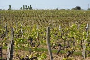 domaine vignes