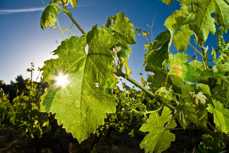Vignoble vendu en Anjou Domaine des Chailloux (2013)