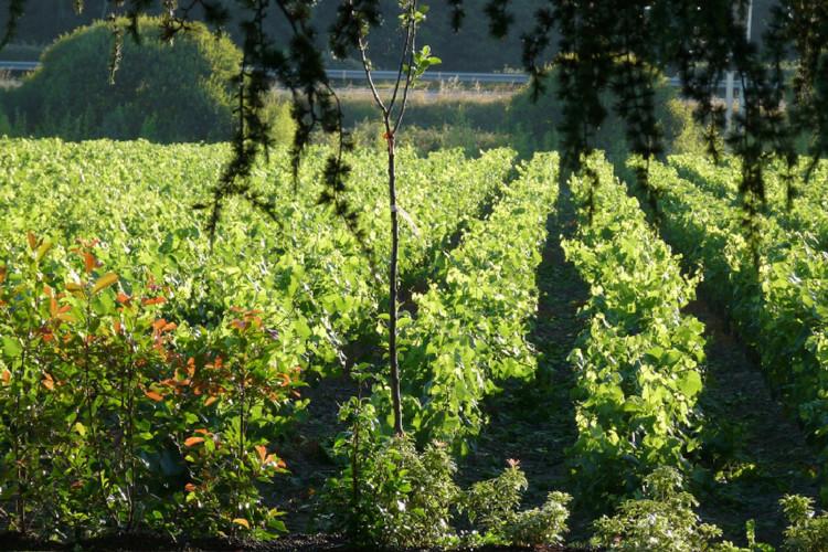 ensemble-viticole-de-85-hectares-dans-le-muscadet