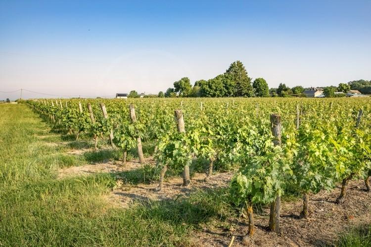 saumur-domaine-viticole-de-24-ha-avec-caves-troglodytes (2)