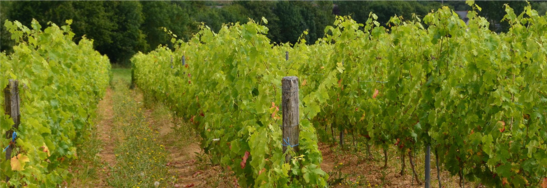 ANJOU : COTEAUX DU LAYON 17-ha WINE ESTATE