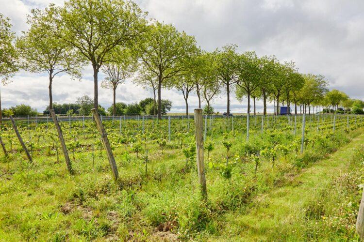 vignes agriculture biologique