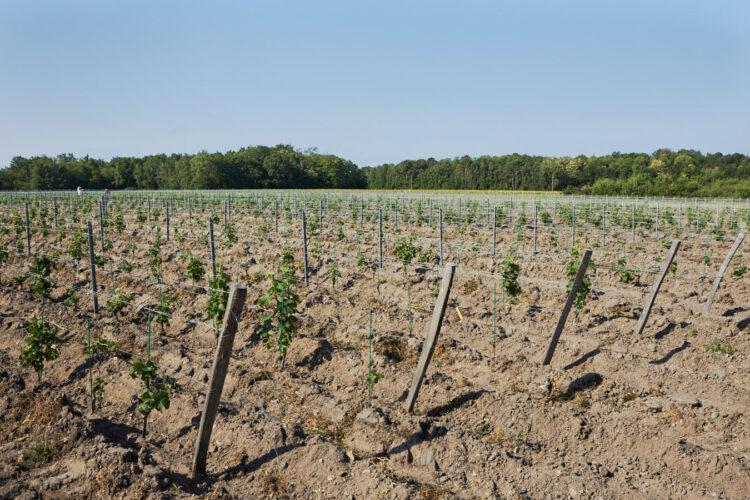 jeunes vignes sans production