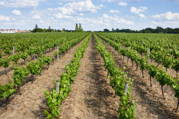 vignes touraine