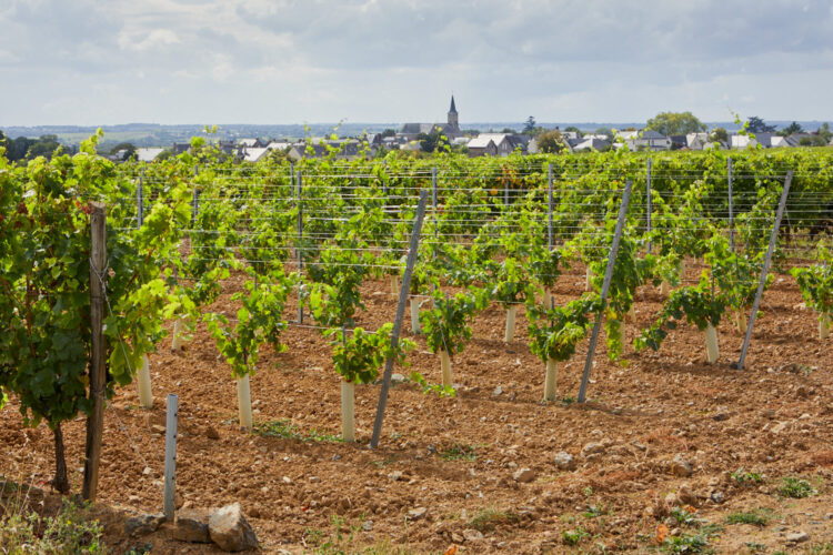 jeunes vignes vue village