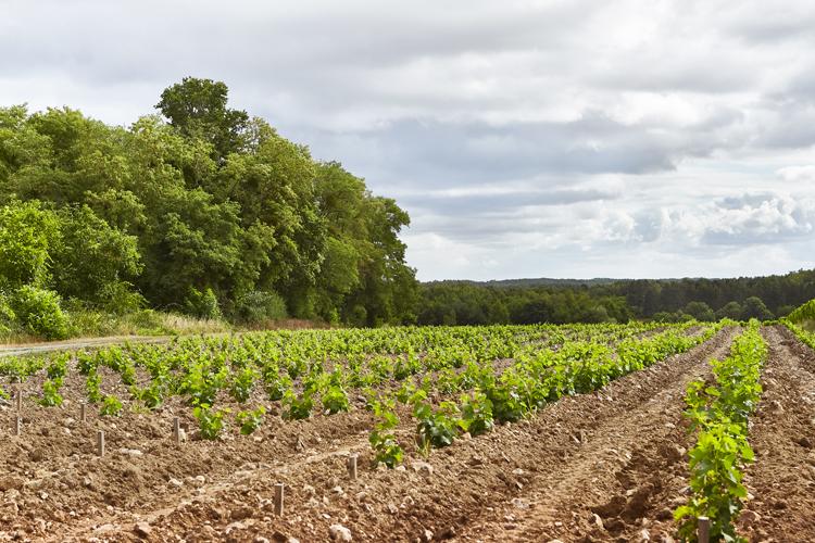 Jeune plantation domaine viticole Touraine ref 213