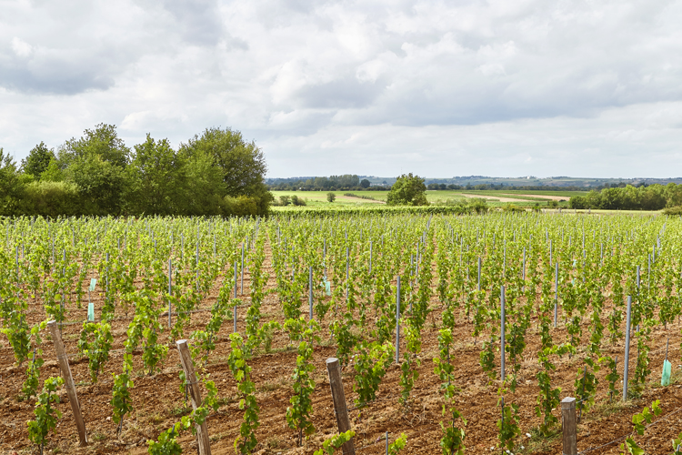 plantation vigne