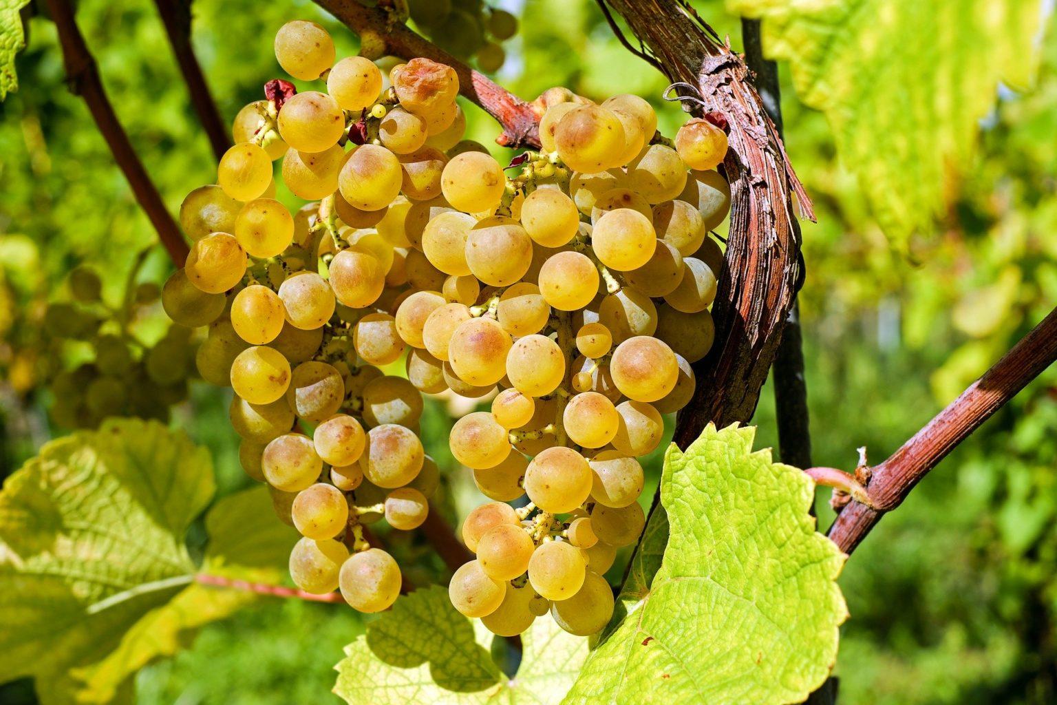 grapes-raisins dorés
