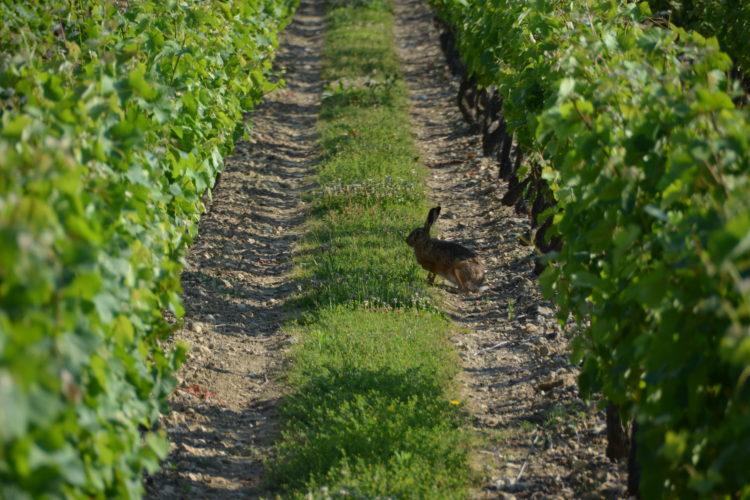 Vignoble Loire